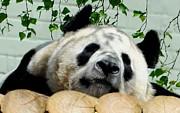 Panda Resting Print by Alex Hardie