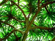 Ranjini Kandasamy - Pandanus tree