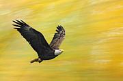 Randall Branham - Panning Eagle In autumn