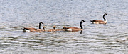 Joseph Baril - Panoramic Goose Family...