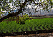 Romaine Photos - Panoramic of Winter Lettuce by Robert Bales