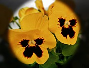 Edges Digital Art - Pansies in a Circle by Marsha Heiken