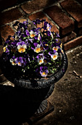 Pansy Photos - Pansies by Karol  Livote