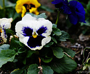 Amanda Collins Framed Prints - Pansies on a spring day... Framed Print by Amanda Collins
