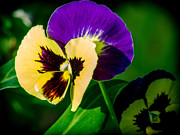 Invitations Framed Prints - Pansies Framed Print by Renee Barnes