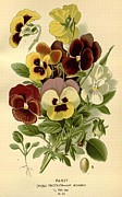 Flora Drawings Prints - Pansies Print by Unknown