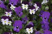 Rancho Palos Verdes Framed Prints - Pansies2 Framed Print by Ram Vasudev