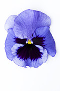 Pansy Face Print by Anne Gilbert