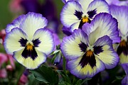 Theresa Willingham - Pansy Faces
