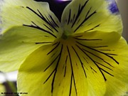 William Presley - Pansy Macro - 1