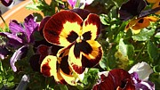Julie Koretz Framed Prints - Pansy time Framed Print by Julie Koretz
