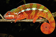 Panther Art - Panther Chameleon Chamaeleo Pardalis by Pete Oxford