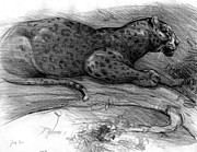 Panther Drawings - Panther by Tracy Herrmann