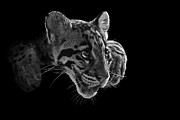 Clouded Leopard Posters - Panting Beauty Poster by Ashley Vincent