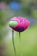 Filament Framed Prints - Papaver Somniferum Poppy and Seed Pod Framed Print by Tim Gainey