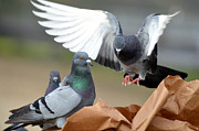 Paper Bag Pigeons 2 Print by Fraida Gutovich