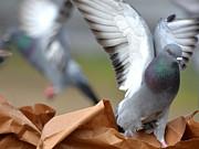 Paper Bag Pigeons Print by Fraida Gutovich