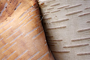 Peeling Bark Prints - Paper Birch Bark Print by Scott Leslie