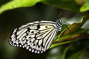 Paper Kite Butterfly On A Leaf  Print by Saija  Lehtonen
