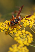 Animal Pics Prints - Paper Wasp Print by Juergen Roth