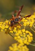 Juergen Roth - Paper Wasp