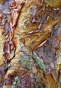 Colorful Bark Prints - Paperbark Abstract Print by Jessica Jenney