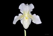 Susan Wiedmann - Paphiopedilum Orchid F.C. Puddle Superbum