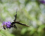 Spicebush Prints - Papilio troilus Print by Heather Applegate