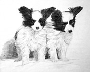 Pair Drawings Prints - Papillon Puppies Print by Shirley Miller
