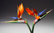 Bird Of Paradise Prints - Paradise. Print by Terence Davis