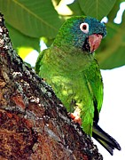 Quaker Parrot Prints - Parakeet IN A Tree Print by Ira Runyan