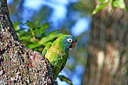 Quaker Parrot Prints - Parakeet in the Park Print by Ira Runyan