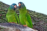 Quaker Parrot Photos - Parakeet Pair by Ira Runyan