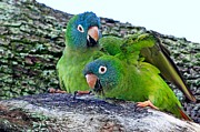 Quaker Parrot Prints - Parakeets in an Oak Tree Print by Ira Runyan