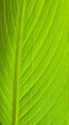 Heartbreak Photo Posters - Parallel Leaf Venation Poster by Douglas Barnett