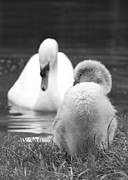 Ripples Of Black And White Prints - Parenthood Print by Steven Poulton
