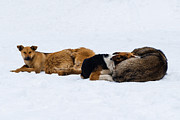 Emotions Posters - Pariah dogs on the snow - Featured 2 Poster by Alexander Senin