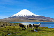Llamas Prints - Parinacota Volcano Lake Chungara Chile Print by Kurt Van Wagner
