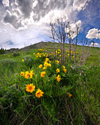 Balsamroot Framed Prints - Park City Slopes in Spring Framed Print by Matt Tilghman