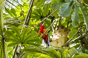 Red Claws Posters - Parrot - Bloedel Conservatory Poster by May L
