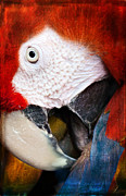 Pam  Holdsworth - Parrot Eye