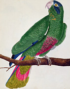 Colorful Animals Drawings Framed Prints - Parrot Framed Print by Francois Nicolas Martinet