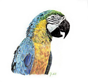 Animals Drawings - Parrot by Julia Alexander