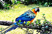 Blue And Gold Macaw Posters - Parrot Pride Poster by Nicole Rodriguez