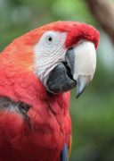 Macaw Photos - Parrot Profile by Carol Groenen
