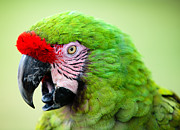 Parrots Photos - Parrot by Sebastian Musial