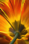 Backlit Photo Prints - Parrot Tulip - D008405 Print by Daniel Dempster