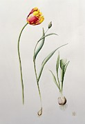 Bud Painting Framed Prints - Parrot Tulip Framed Print by Iona Hordern