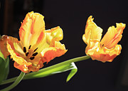 Backlit Tulip Photos - Parrot Tulips by Gerry Bates