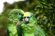 Amazon Parrot Prints - Parrot Whispers Print by James Brunker